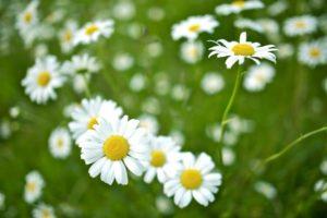 april-daisies