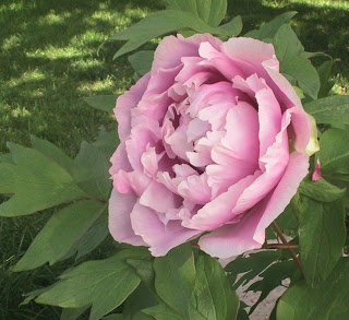 One More Pic – that Tree Peony